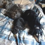 cobweb on bed with dogs